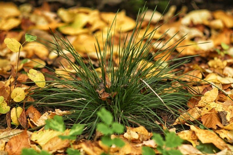 Petit buisson d'herbe au sol, étendu par des feuilles d'automne photos stock