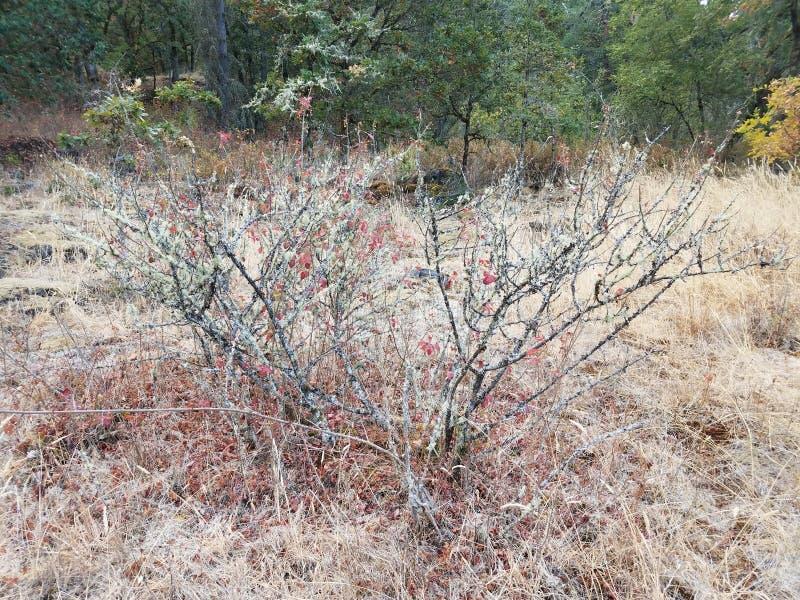 Petit buisson sec de sumac vénéneux avec le lichen et l'herbe brune photo stock
