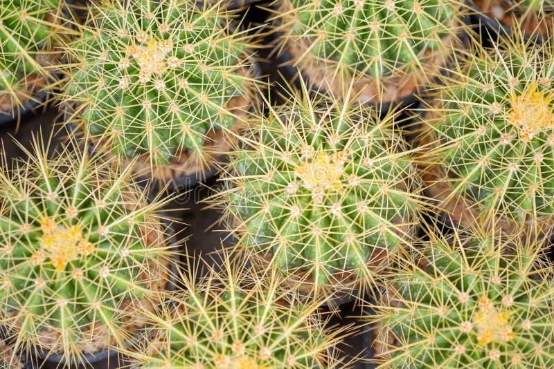 Petit cactus dans un pot pour la maison image libre de droits