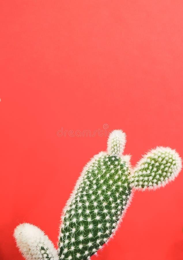 Petit cactus de microdasys d'opuntia également connu sous le nom de cactus d'oreilles de lapin sur un fond rose de corail vibrant photographie stock