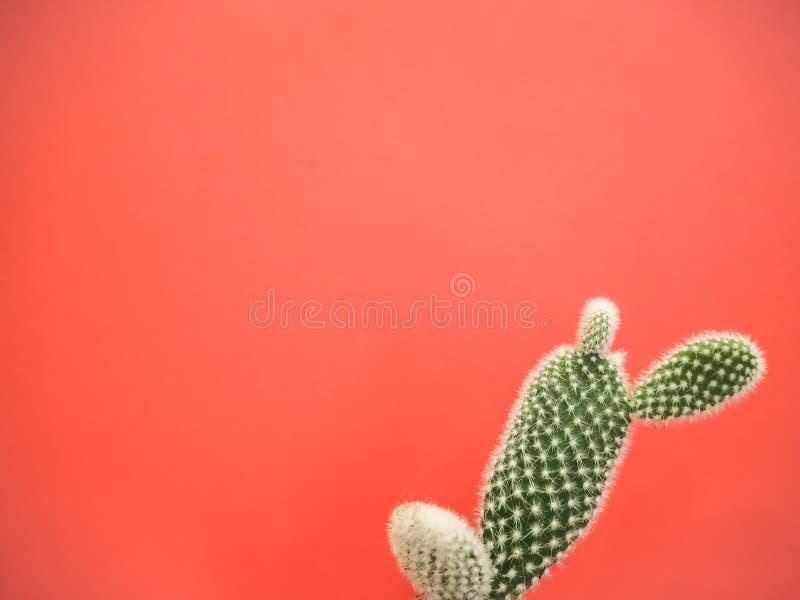 Petit cactus de microdasys d'opuntia également connu sous le nom de cactus d'oreilles de lapin sur un fond rose de corail vibrant photos libres de droits