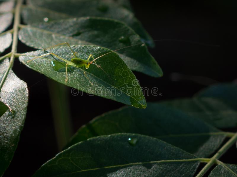 Petit Caelifera sur des feuilles de cari images libres de droits