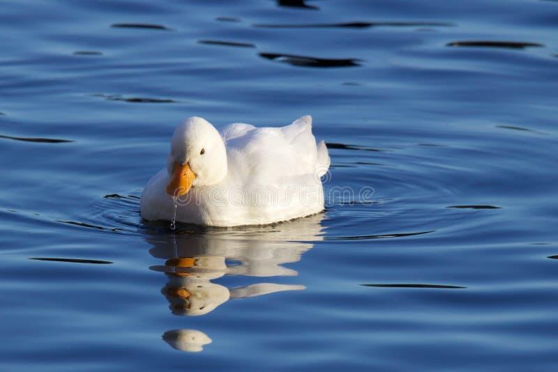 Petit canard blanc photos stock