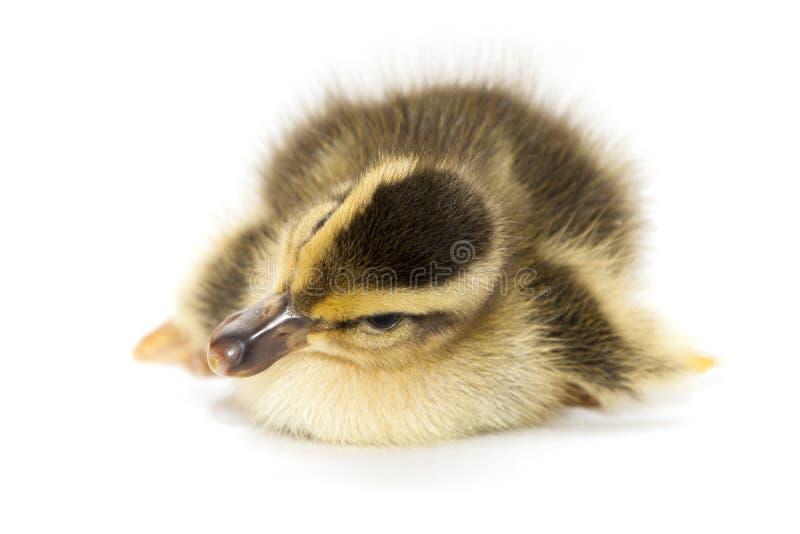Download Petit canard de bébé photo stock. Image du fourrure, oeuf - 45357038