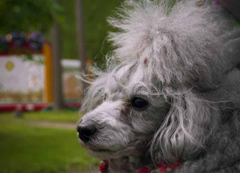 Petit caniche gris de chien images stock