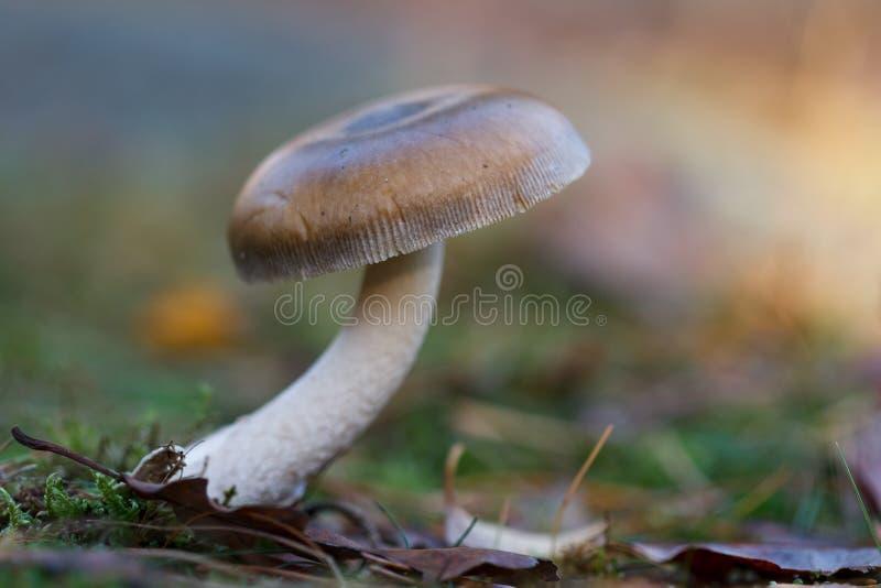 Petit champignon brun dans les bois photographie stock