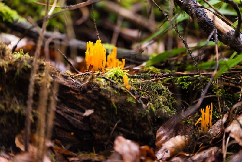 Petit champignon de stagshorn, cornée de Calocera images stock