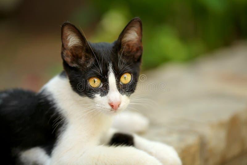 Petit chat égaré noir et blanc avec hypnotiser les yeux jaunes, s'étendant sur la restriction de trottoir, regardant dans la camé photographie stock