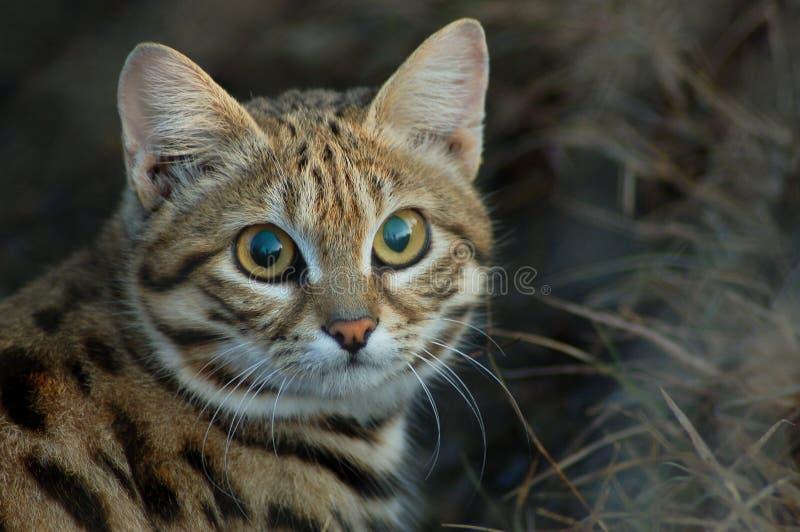 Petit chat aux pieds noir (negripes de felis) photographie stock libre de droits