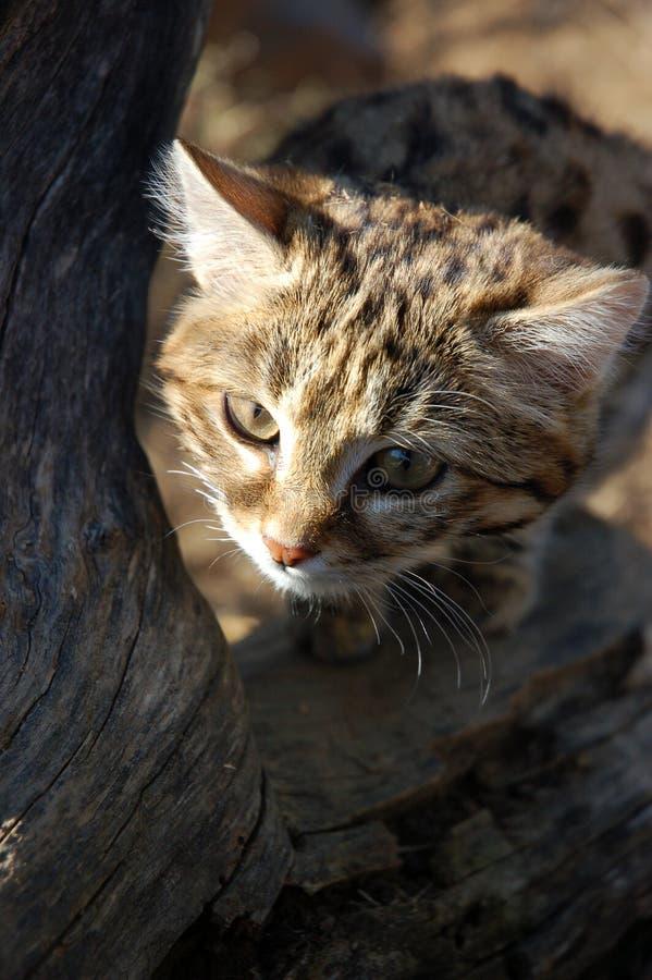 Petit chat aux pieds noir (negripes de felis) images libres de droits