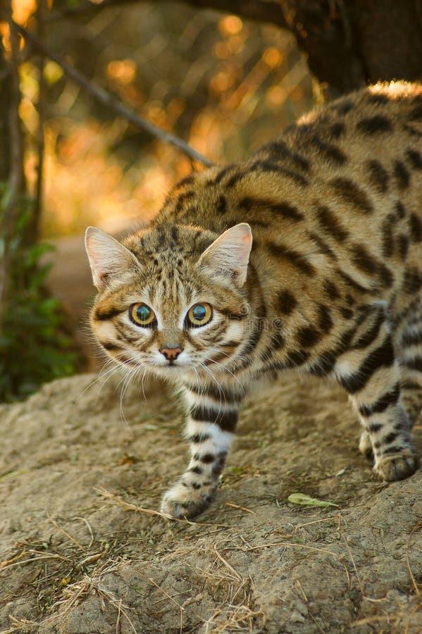 Petit chat aux pieds noir (negripes de felis) image libre de droits