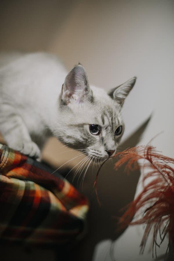 Petit chat curieux reniflant les plumes photos stock
