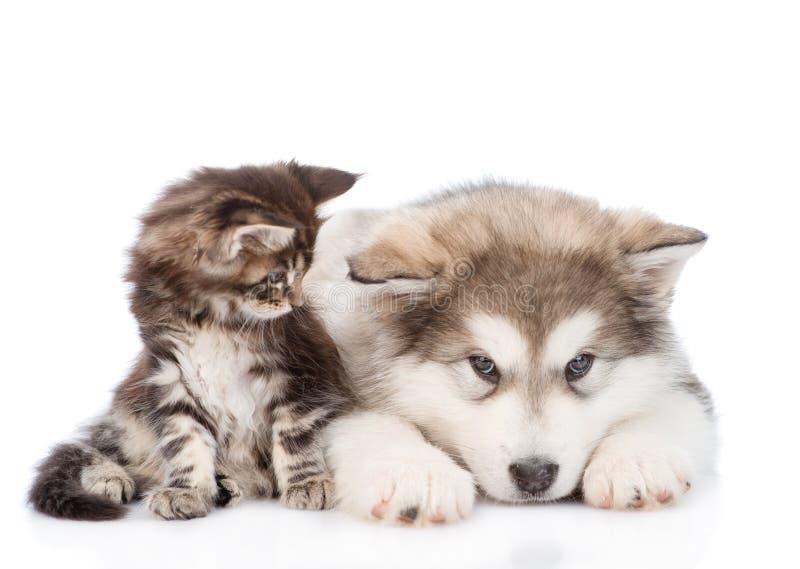 Petit chat de ragondin du Maine semblant regardant un chien de malamute d'Alaska D'isolement sur le blanc photographie stock