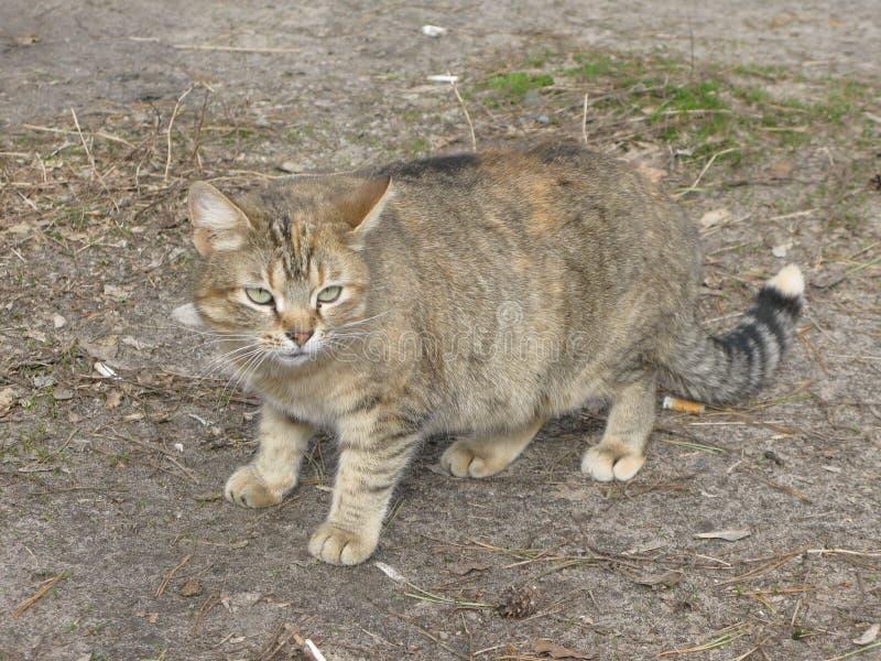 Petit chat de tigre photo stock