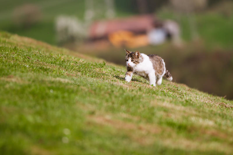 Petit chat marchant dans l'herbe photo stock