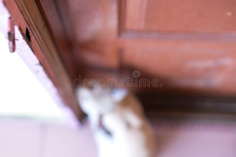 Petit chat masculin brouillé attendant et se reposant devant la porte avec le visage grincheux photographie stock libre de droits