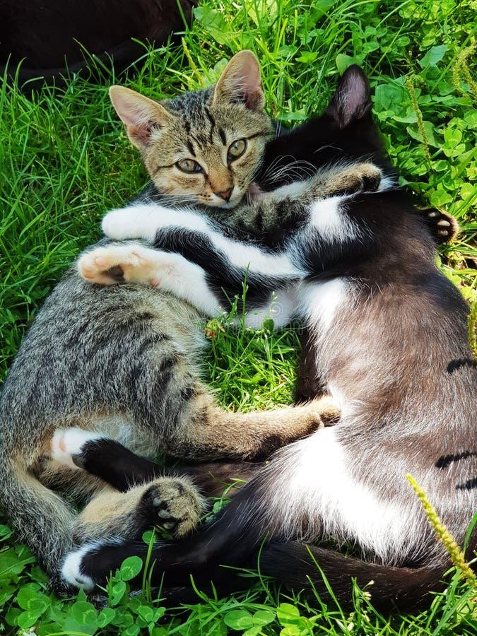 Petit chat mignon, chatons extérieurs, jouer de chats drôle et beau images libres de droits