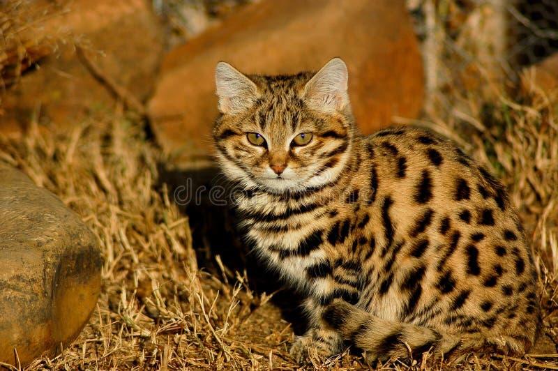 Petit chat repéré ou chat Noir-aux pieds photo libre de droits