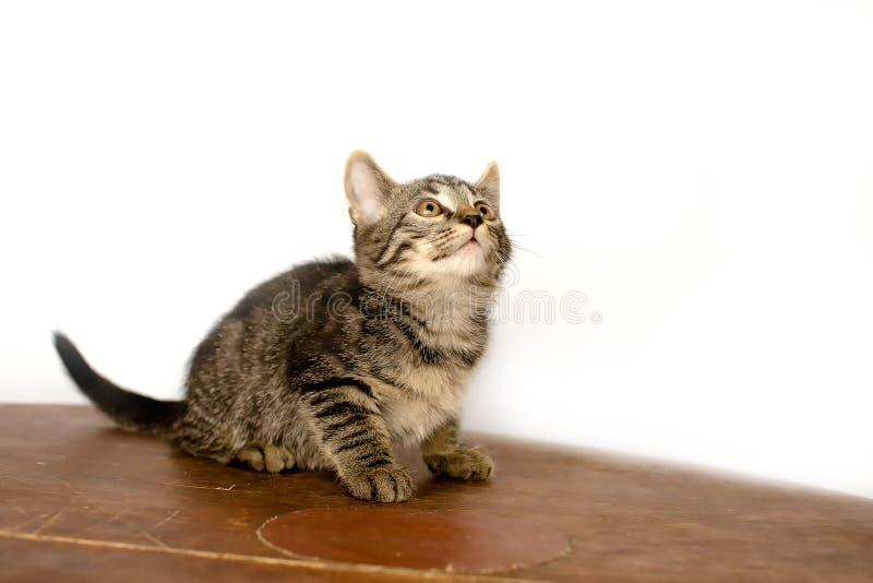 Petit chaton bariolé sur le fond blanc Il joue avec images stock