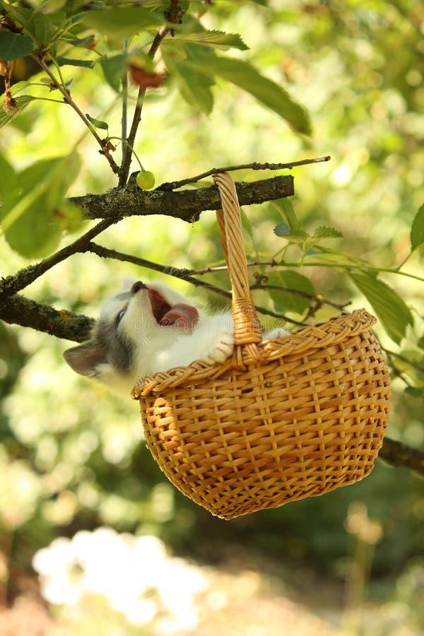 Petit chaton blanc et gris mignon se reposant dans le panier images libres de droits