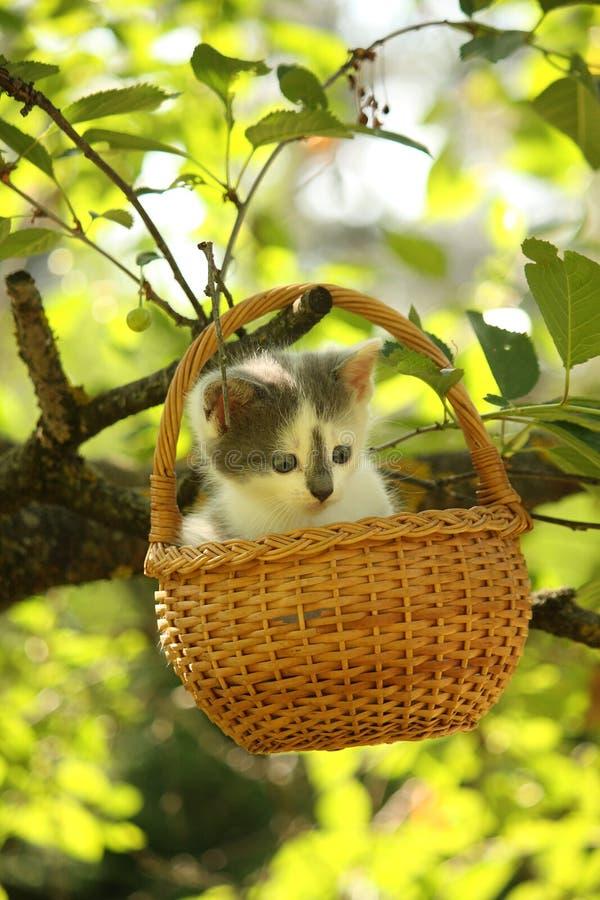 Petit chaton blanc et gris mignon se reposant dans le panier photos libres de droits
