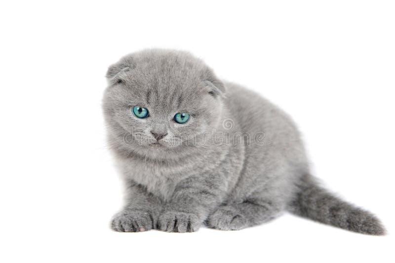 Petit chaton britannique adorable image libre de droits