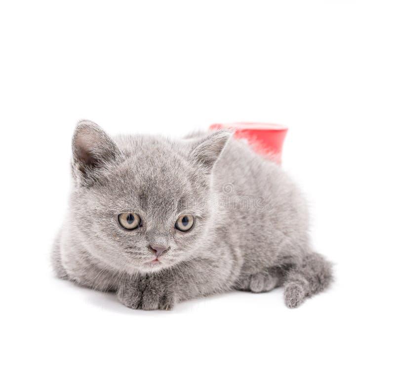 Petit chaton britannique adorable photos stock