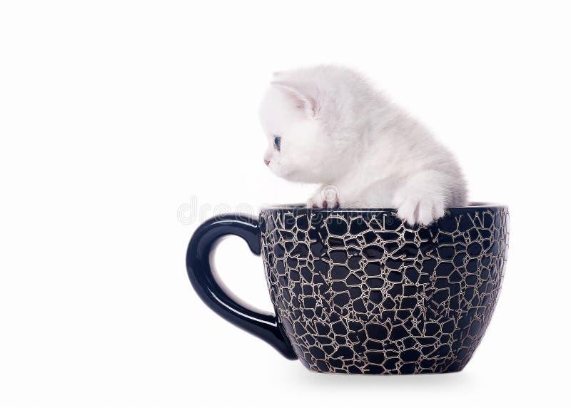 Petit chaton britannique argenté dans la cuvette photos stock