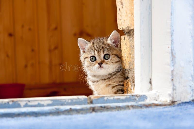 Petit chaton britannique brun mignon se reposant dans la porte d'un mur de briques image stock