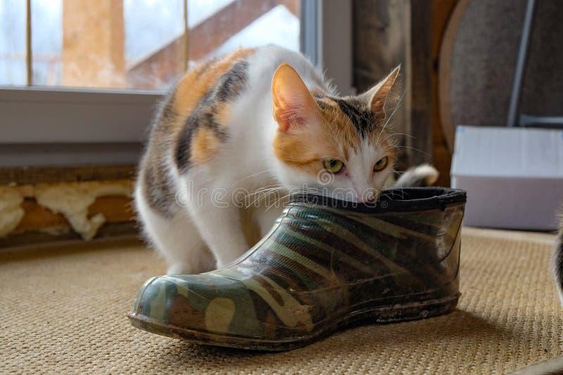 Petit chaton dans la chaussure photographie stock