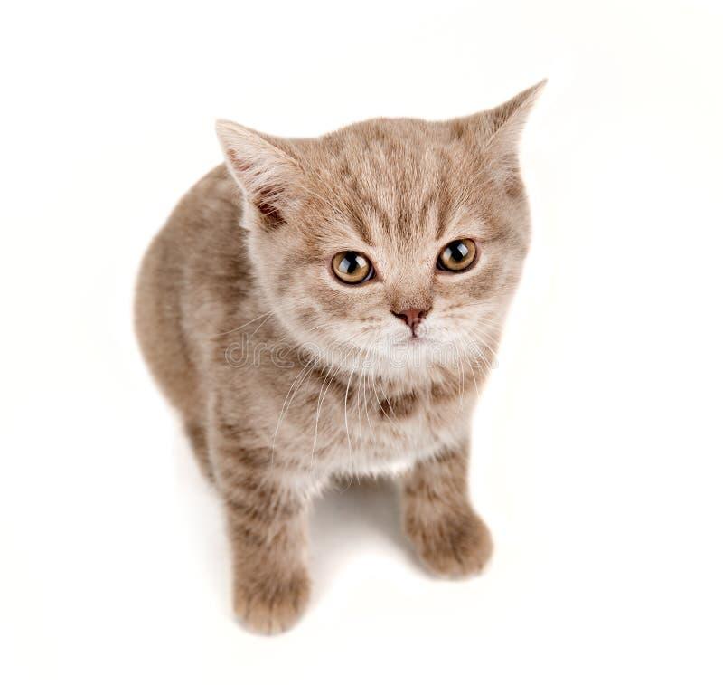 Petit chaton de Brown photos libres de droits
