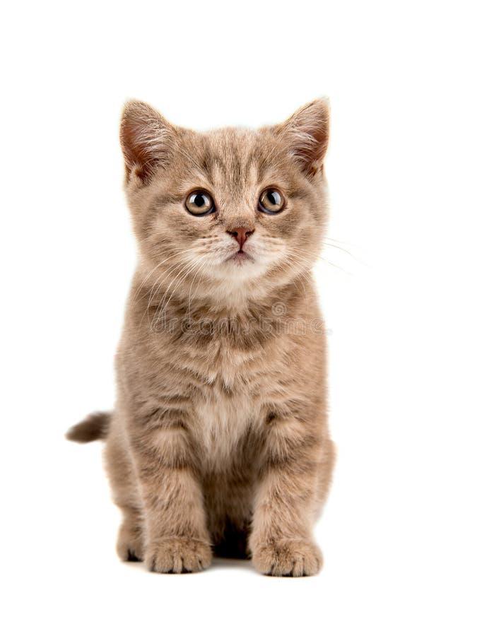 Petit chaton de Brown image stock