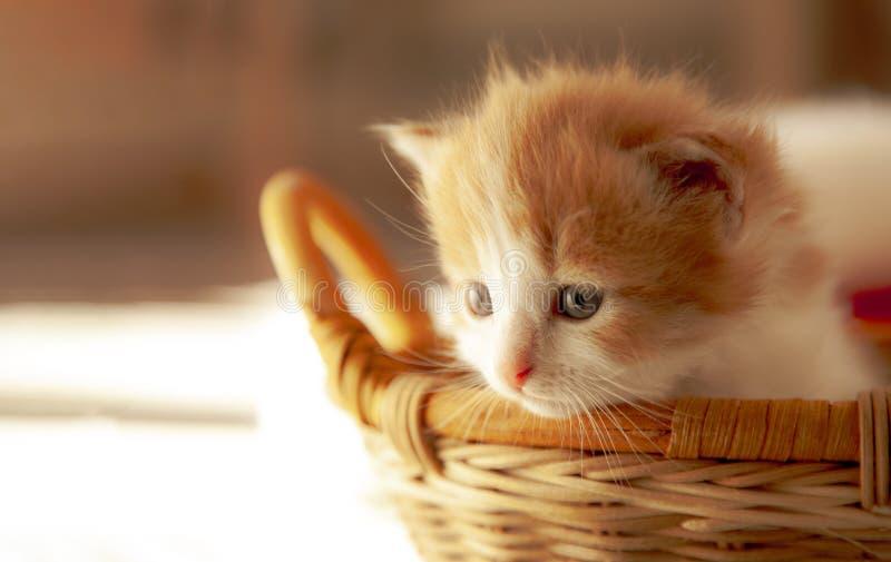 Petit chaton de gingembre dans le panier dans la maison photographie stock