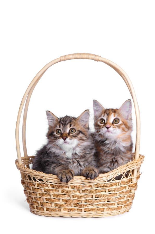 Petit chaton deux pelucheux. image stock