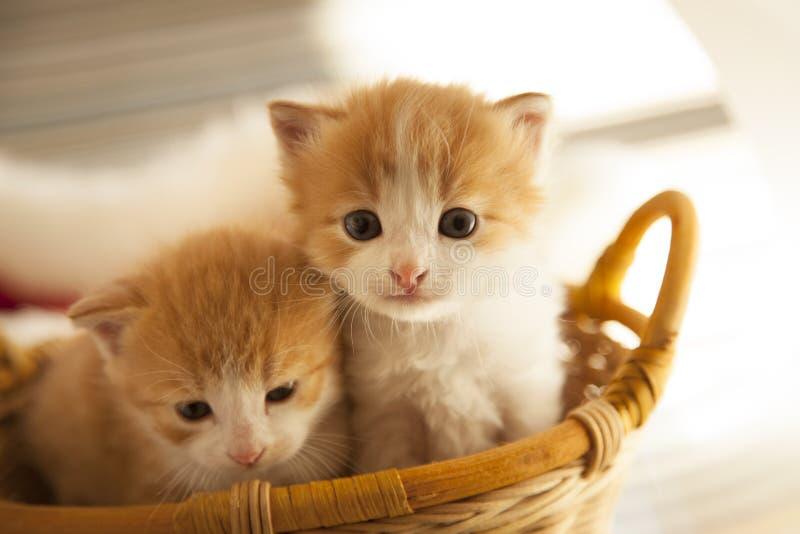 Petit chaton du gingembre deux dans le panier dans la maison photographie stock libre de droits