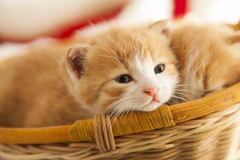 Petit chaton du gingembre deux dans le panier dans la maison photographie stock