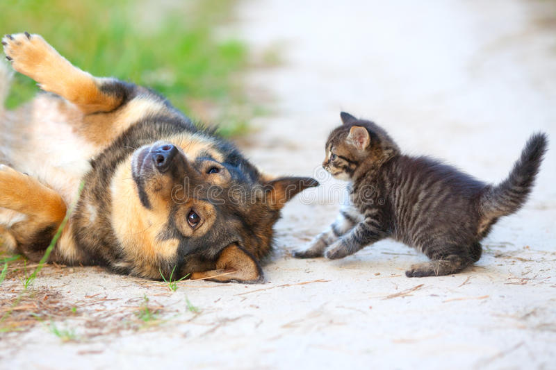 Petit chaton et grand chien photo stock