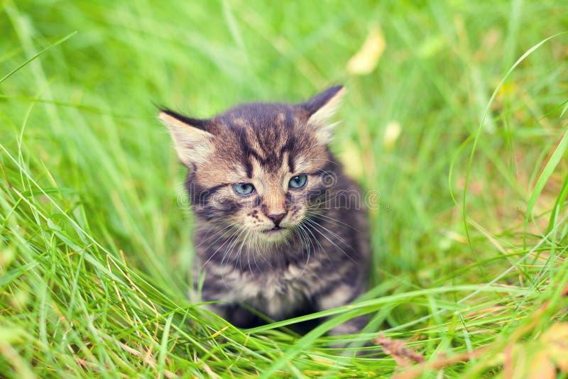Petit chaton marchant dans les gras image libre de droits