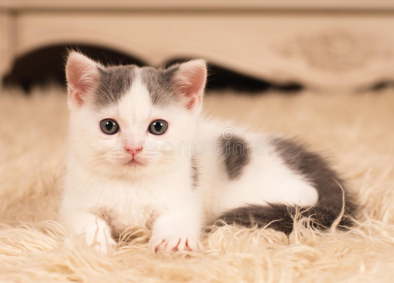 petit chaton mignon photo stock image du blanc mignon 62891644. Black Bedroom Furniture Sets. Home Design Ideas