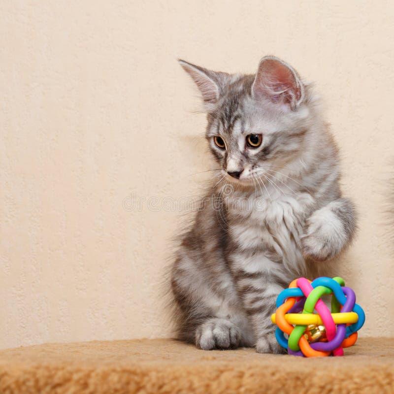 Petit chaton mignon de queue écourtée images stock