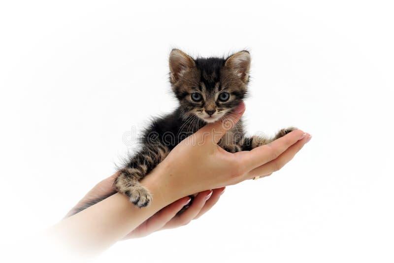 Petit chaton mignon se reposant sur les paumes 2 images libres de droits