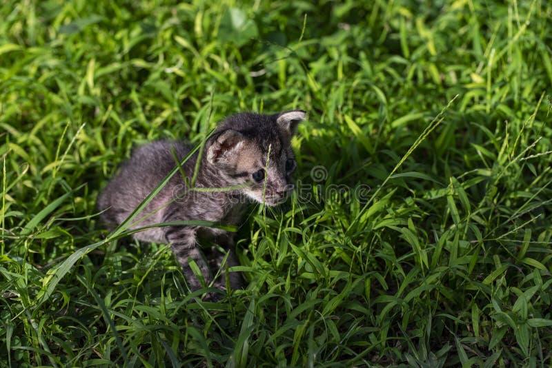 Petit chaton mignon sur l'herbe verte d'été Petit minou avec des yeux bleus et de petites oreilles Promenade curieuse de bébé de  photos stock