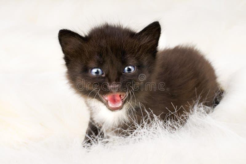 Petit chaton pelucheux photographie stock libre de droits