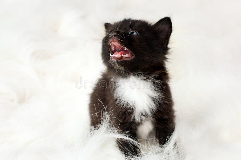 Petit chaton pelucheux image stock