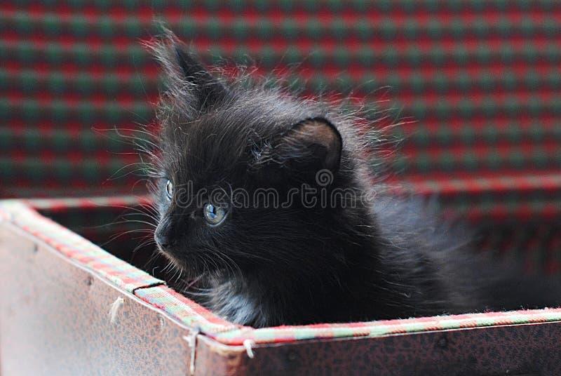 Petit chaton pelucheux noir dans la valise de vintage Curieusement regardant  photographie stock libre de droits