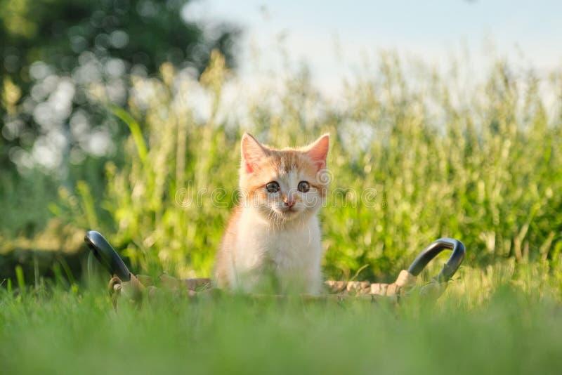 Petit chaton pelucheux rouge mignon dans le panier sur l'herbe ensoleillée verte photo libre de droits