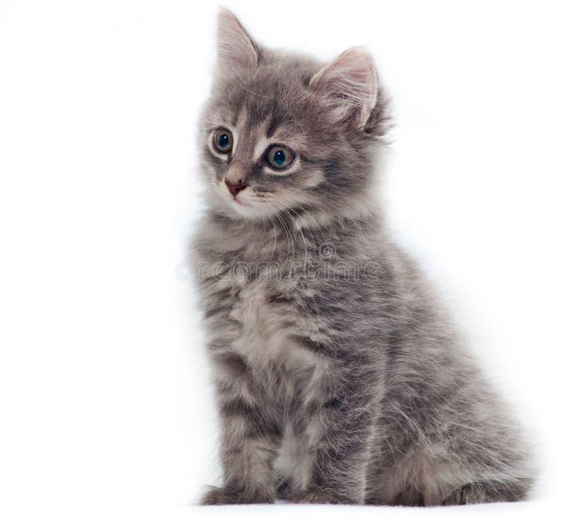 Petit chaton sur le blanc images libres de droits
