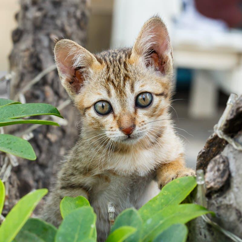Petit chaton thaïlandais photographie stock libre de droits