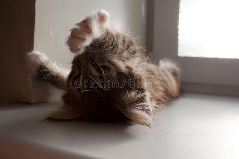Petit chaton tigré s'étirant sous le soleil photos stock