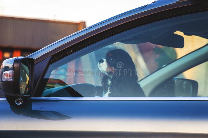 Petit chien à la roue la voiture images libres de droits